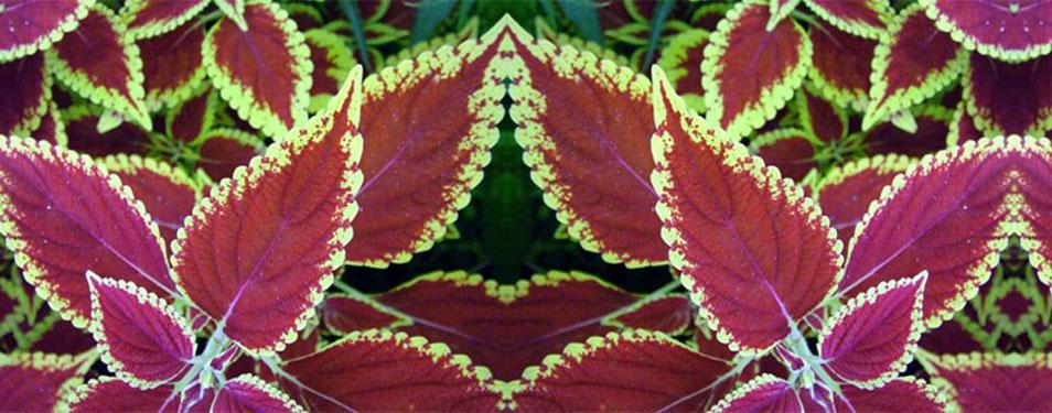 forskolin-plant